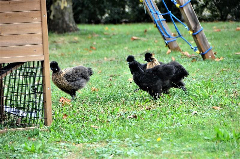 Chickens 31.08 (4)