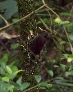 Maroon Woodpecker (female)
