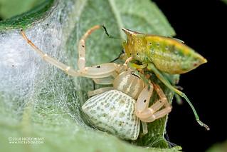 Crab spider (Cyriogonus sp.) - DSC_1085