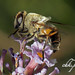 Nice Bee In My Garden by chk.photo