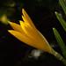 Sternbergia lutea var. angustifolia.
