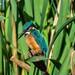Kingfisher Greylake F00331 D210bob DSC_7011
