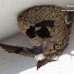 Aviones comunes entorno a su nido. La Guardia (Toledo) 25-8-2018