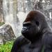 Gorille by antoine_blin