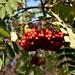 Plenty of berries for the birds