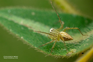 Lynx spider (Oxyopes sp.) - DSC_1119