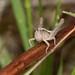 Chorthippus brunneus 1130958