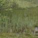 Bolboschoenus maritimus 1140073