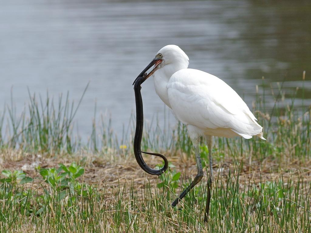 Sortie à la réserve ornithologique du Teich - 24 août 2018 43558232064_dd5584f323_o
