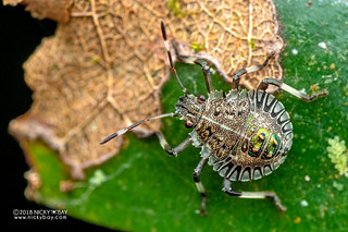 Stink bug nymph (Pentatomidae) - DSC_0164