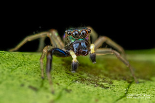 Jumping spider (Echinussa sp.) - DSC_1841