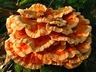 Chicken_of_the_Woods_1