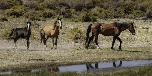 america mojavedesert southwest usa alkalispringsnevada animal desert goldfield wildanimal wildlife horses mustang wild