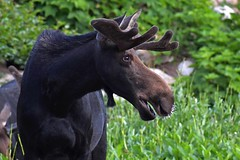 Young bull moose with porcupine quills in his nose