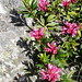 NP Aigüestortes i Estany de Sant Maurici, pěnišník rezavý (Rhododendron ferrugineum), foto: Petr Nejedlý