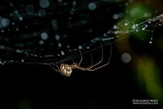Big-jawed spider (cf. Tylorida sp.) - DSC_0624