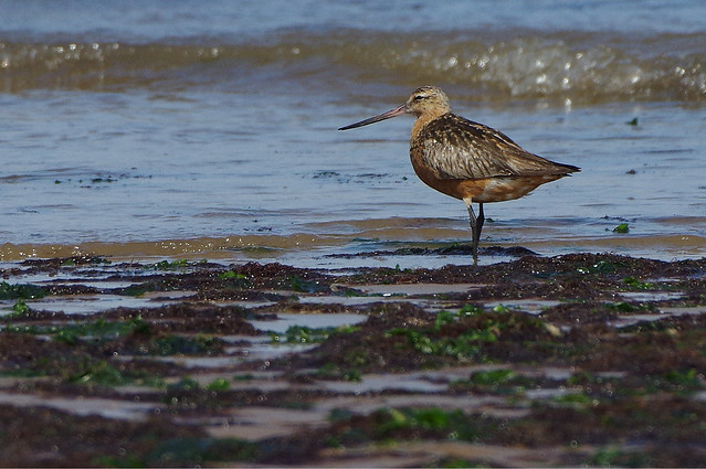 K32P0794a Bar-tailed (?) Godwit, Titchwell Shoreline, August 2018