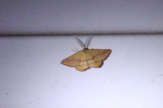 2018-9-9. Chickweed Geometer Moth