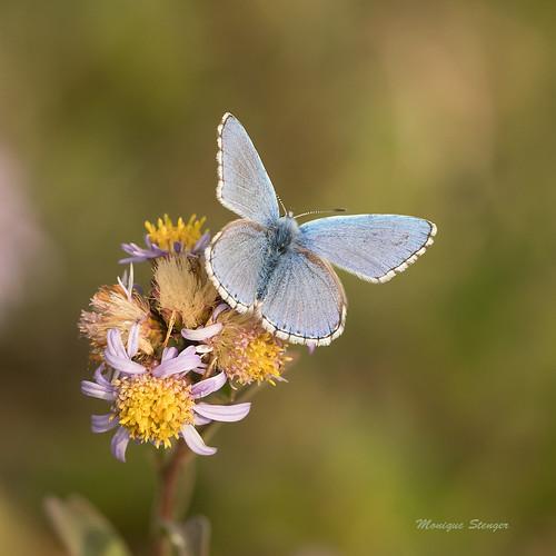 L'argus bleu-céleste (Polyommatus-Lysandre bellargus)