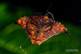 Kite orb weaver (Augusta glyphica) - DSC_2956