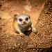 Trip to the zoo - Meerkat pup by ∞ monkeys with cameras - in limbo/no mojo