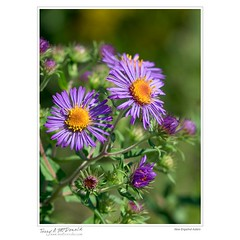 New Engalnd Asters
