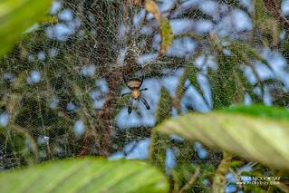 Tent web spider (Cyrtophora sp.) - DSC_0144