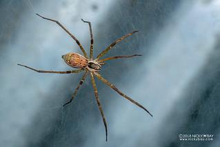 Nursery web spider (cf. Pisauridae) - DSC_8628