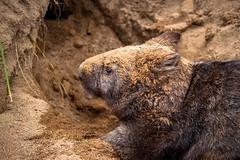 Sandy wombat