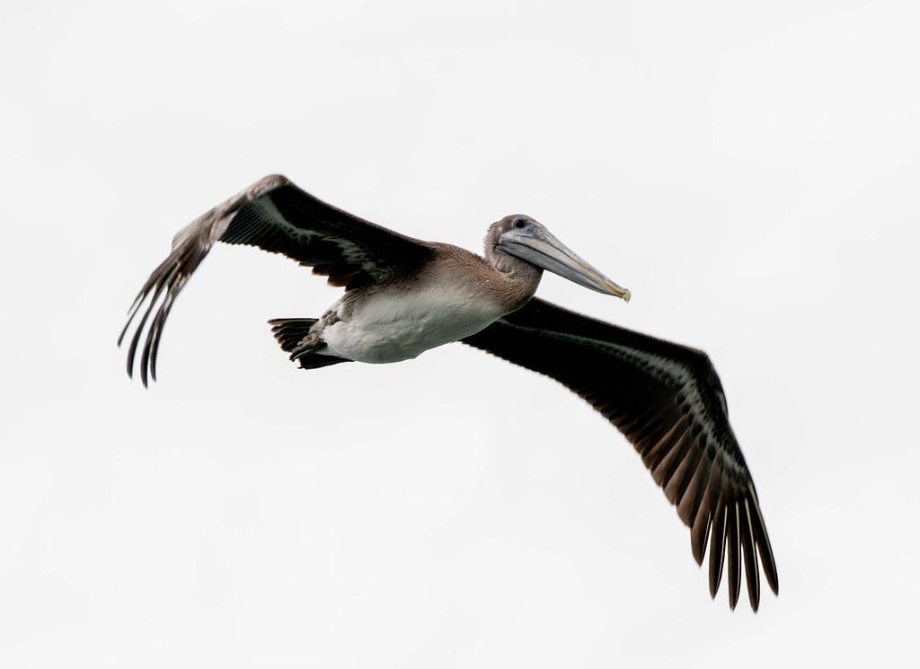 Pelican 1 (1 of 1)
