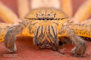 Huntsman spider (Olios sp.) - DSC_2082