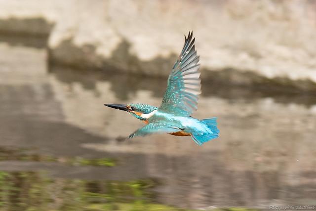 20180909-kingfisher-DSC_8640