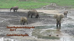 Forest Elephants 1