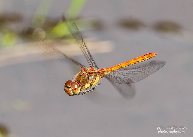 Dragonfly Common Darter Male in flight