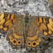♀ Wall Brown Butterfly