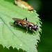 Hoverfly --- Xylota segnis