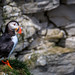 Puffin on the cliff edge.