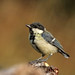 Juvenil Carbonero común (Parus Major)