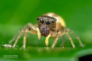 Jumping spider (Echinussa sp.) - DSC_1865
