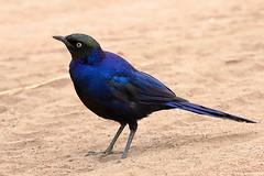 Rüppell's starling