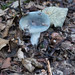 Russula species, Himley Plantation