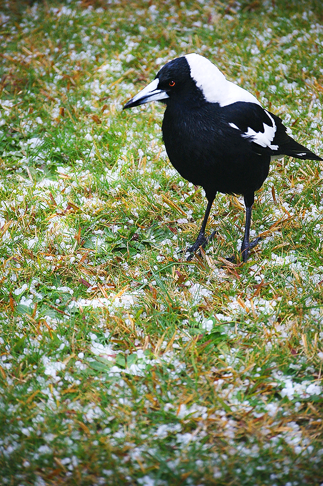_magpie_does_not_like_hail_