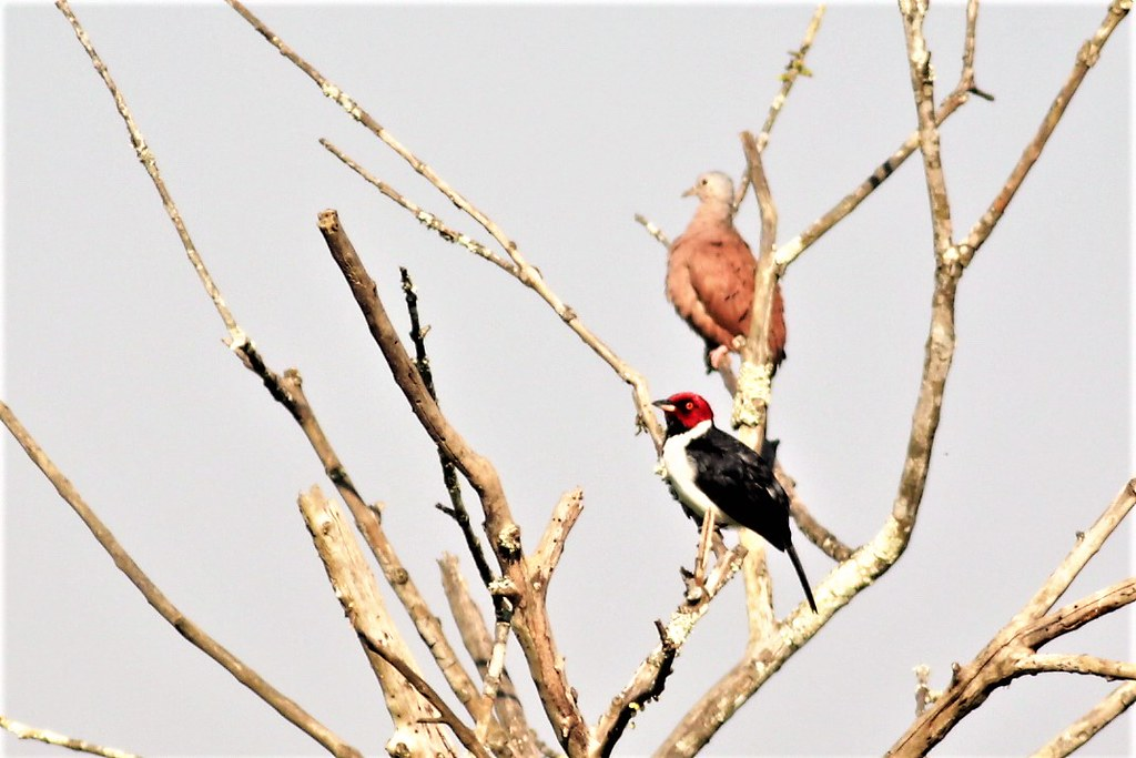 Red-capped Cardinal