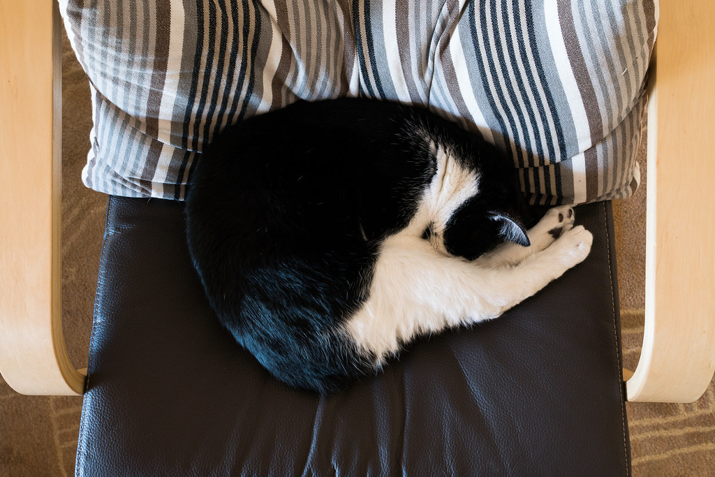 Our cat Boo sleeps curled on a chair with his arms tucked below his legs so you can't see them