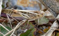 Migratory Locust (Locusta migratoria)