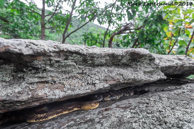 Timber rattlesnake birthing rookery