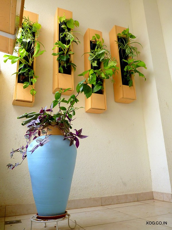 Large urn with money plant