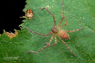 Huntsman spider (Sparassidae) - DSC_8607