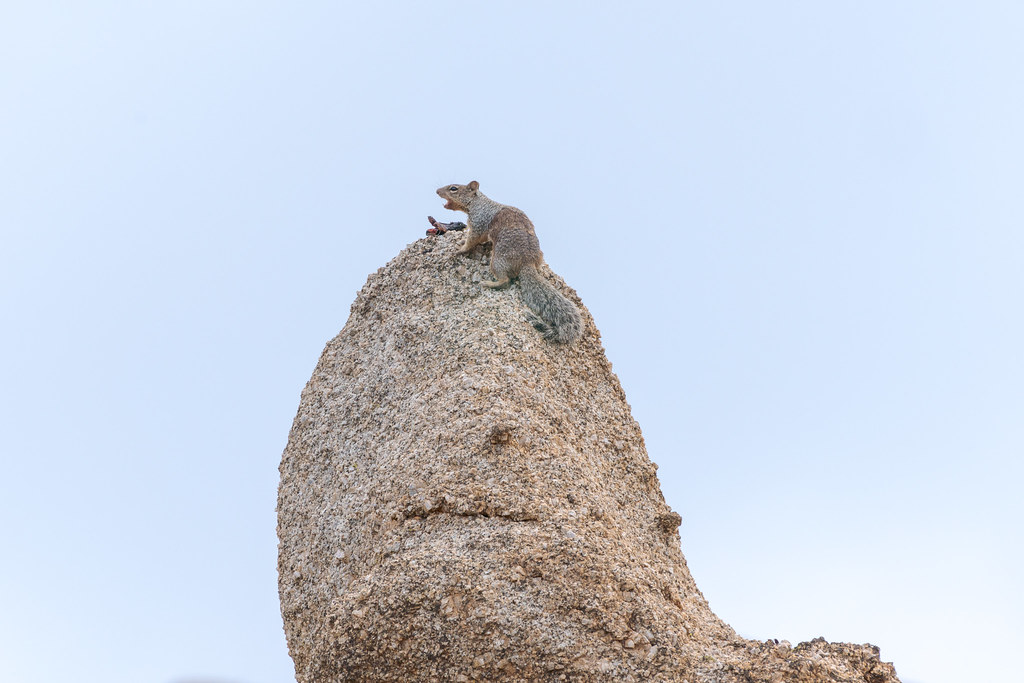A rock squirrel calls out atop a large granite boulder near Granite Mountain in McDowell Sonoran Preserve