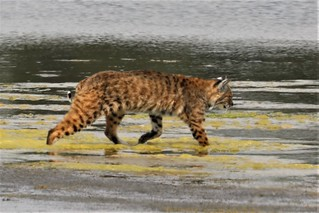 Lynx rufus californicus Bobcat #8